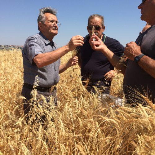 Salvatore Ceccarelli con il nostro socio conferitore Pierluigi su un campo di miscuglio di Aleppo duro.