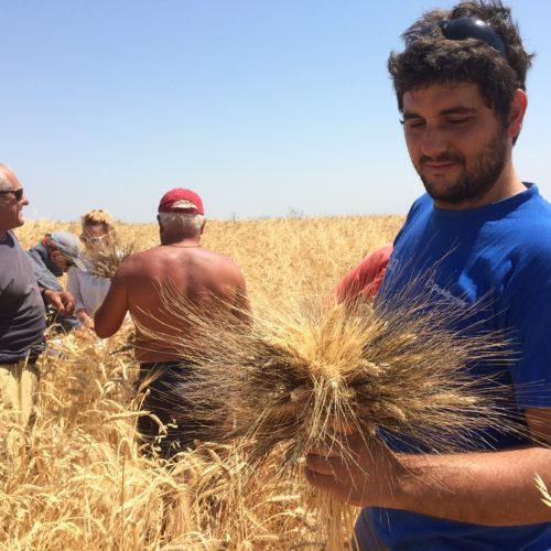 """Il colore di sfondo del grano è oro puro. In mano a questo amico un mazzo di spighe di vari grani duri del miscuglio di Aleppo. Quando la spiga ha quei peli si dice """"aristata""""."""